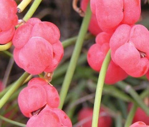 Flore : Ephedra