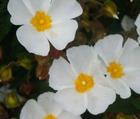 Flore Ciste blanc - Service Environnement