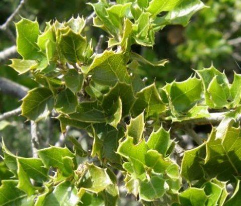 Flore Chêne kermes - Service Environnement